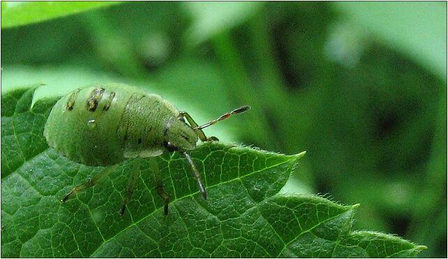 Heteroptera nimph IMG 1823, Lubelska, Zabrze 41-800 - Zdjęcia