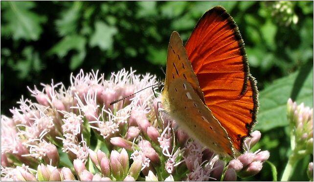IMG 2189 butterfly, Lubelska, Zabrze 41-800 - Zdjęcia