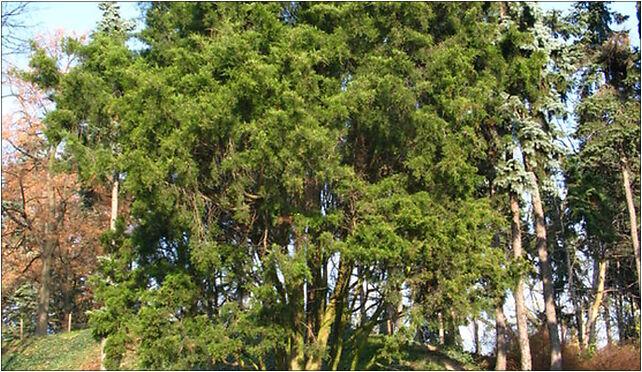 Juniperus in Park im. Stefana Żeromskiego in Warsaw, Warszawa od 01-527 do 01-567 - Zdjęcia