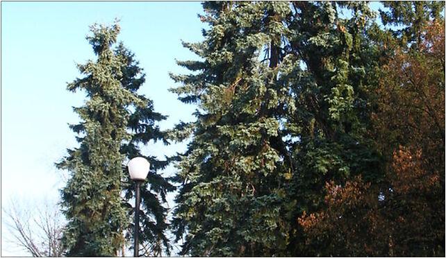 Picea pungens Zeromskiego 1, Czarnieckiego Stefana, Warszawa od 01-530 do 01-784 - Zdjęcia