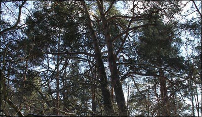 Pinus sylvestris Marki 4, Spacerowa, Marki 05-270 - Zdjęcia