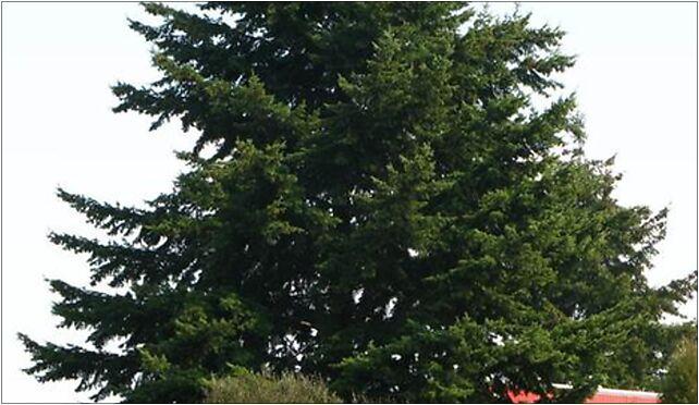 Pseudotsuga menziesii big tree Marki b, Okólna 38, Marki 05-270 - Zdjęcia