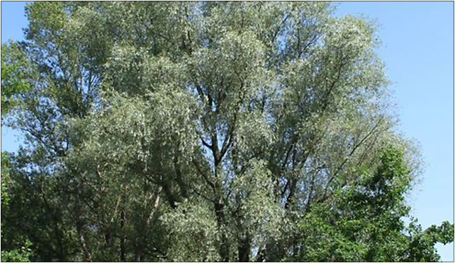 Salix alba Marki 2, Grunwaldzka, Marki 05-270 - Zdjęcia