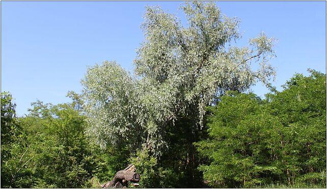 Salix alba Marki, Grunwaldzka, Marki 05-270 - Zdjęcia
