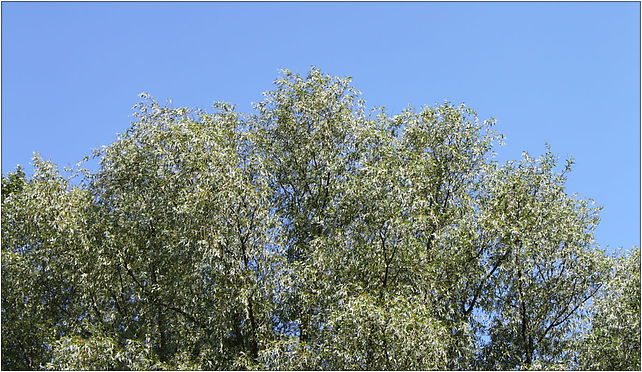 Salix alba foliage, Grunwaldzka, Marki 05-270 - Zdjęcia